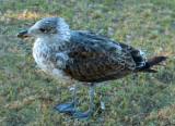 Nonconformist gull