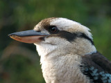 One kookaburra