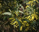 Acacia binerva