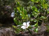 Leptospermum – which one?