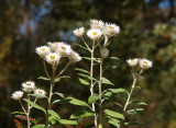 Helichrysum elatum