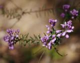 Comesperma ericinum