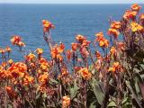Cannas and the ocean