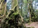 Trees from Gondwana