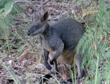 Suburban swamp wallaby
