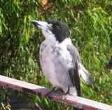 Butcher bird at breakfast time
