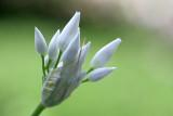 Allium ursinum Wild garlic Daslook