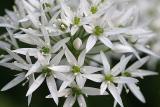 Allium ursinumWild garlicDaslook