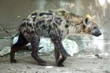 Crocuta crocuta Spotted Hyena Gevlekte Hyena