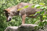 Canis lupus signatus Iberian wolf Iberische wolf
