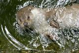 Lutra lutra  European otter Europese otter