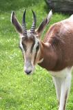Gazella dama mhorrMhorr-Gazelle Mhorr Gazelle