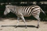 Equus quagga ssp. antiquorum Chapman's zebra