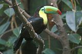 Ramphastos sulfuratus Keel-billed Toucan Fischertukan