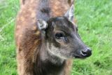 Cervus alfredi  Philippine spotted deer Prins Alfredhert