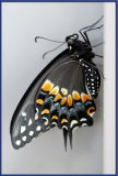 Newly emerged Swallowtail butterfly