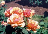 06_rose_1.JPG