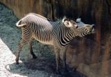 06 zebra.JPG