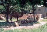 07 camelsinshade.JPG
