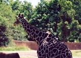 10 giraffe.JPG
