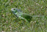 Iguana in our backyard