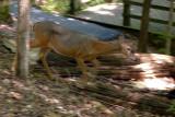 05_deer_on_move_3739.JPG