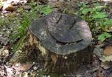 16_happy_stump_3786.JPG