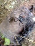 25_black_widow_3840.JPG