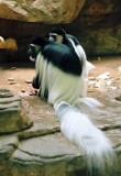 017A_colobus_monkeys.JPG