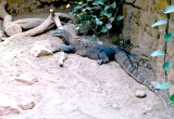 020A_komodo_dragon.JPG