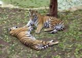7329_two_tigers.JPG