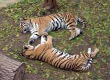 7330_two_tigers.JPG