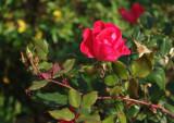 7399_late_season_rose.JPG
