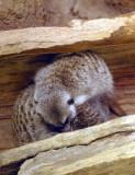 4176_sleeping_meerkats.JPG