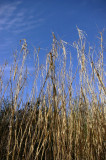 4230_very_tall_grass.JPG