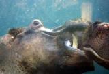 4264_hippo_series.JPG