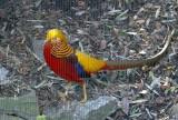 4340_golden_pheasant.JPG