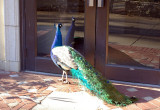 4345_why_do_peacocks_always_hang_out_there.JPG