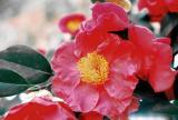 camellia.jpg.jpg