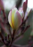 Plumeria Rubra-LalBagh.jpg