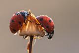 Seven-Spotted Ladybug - מושית השבע