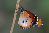 Plain Tiger - דנאית הדורה - Danaus chrysippus