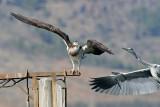 Osprey vs. Heron - שלך נגד אנפה
