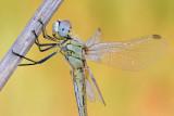 Dragonfly - שפירית