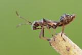 Broad-headed Bug - גלדני צר - Camptopus lateralis