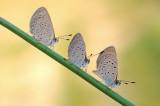 Grass Blue - כחליל הקוטב - Zizeeria karsandra