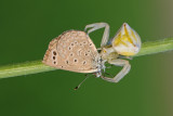Crab Spider and Blue - סרטביש וכחליל