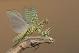 Mantis - גמל שלמה משובץ