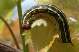 Striped Hawk-moth - רפרף מסורטט - Hyles livornica