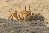 Ghost crab - סרטן חולות - Ocypode cursor